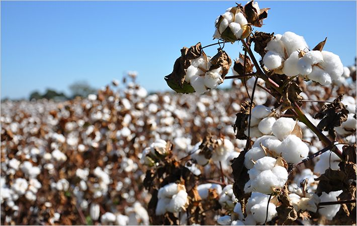 Yaaganti ties up with Vikram Seeds for Bt cotton
