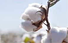 Brazilian cotton prices perk up in second fortnight of July