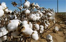 'Govt has taken steps to prevent dip in cotton output'