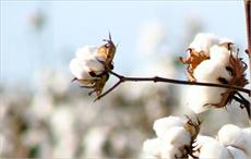 Brazilian cotton prices rise in late November