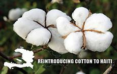 New study recommends reintroducing cotton crop in Haiti