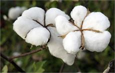Indian cotton prices decline in Oct; Chinese remain stable