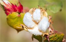 Researchers discuss water usage in cotton production
