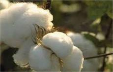 China's cotton output down 4.6% in 2016
