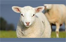 SCS approved as certifier for Responsible Wool Standard