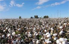 Cotton sowing for 2017-18 begins in parts of India