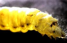 Silkworms spin silk by pulling: Sheffield scientists