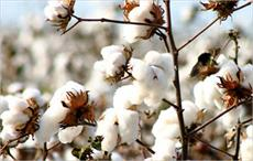China's cotton output increases 2.7% in 2017