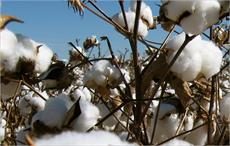 Brazilian cotton prices move up in first fortnight