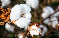 Cotton prices show upward trend in Brazilian market