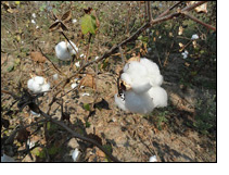 Cotton prices reduce sharply
