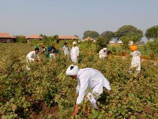 Cotton seeds research project in India