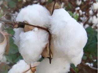 Tanzanian cotton industry facing number of challenges