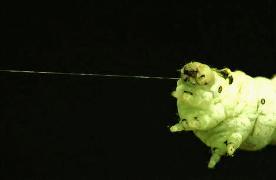 Bombyx mori spinning/OU