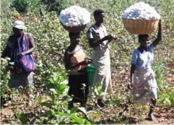 courtesy: Mozambique Cotton Institute