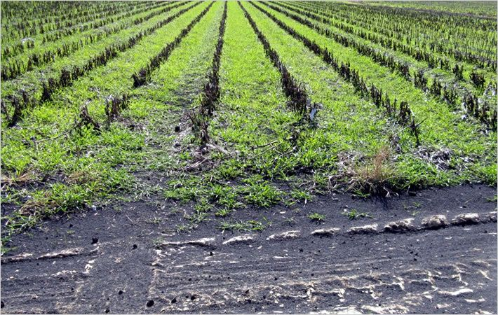 Wood ash spread at 4 tons per acre/C: Cotton,Inc