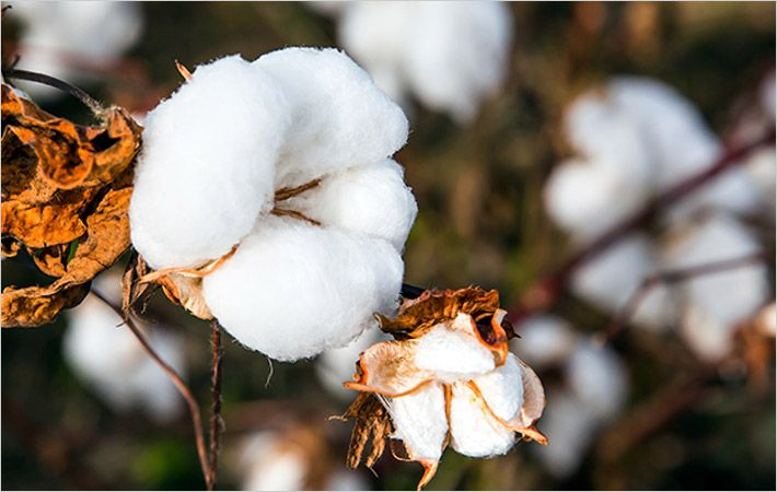 India : Govt estimates Kharif cotton crop at 33.51 mn bales - Textile News  India