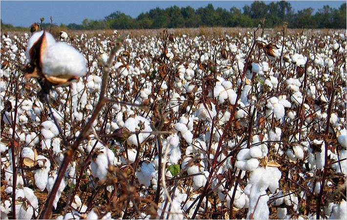 Southern Hemisphere's share of cotton output to rise