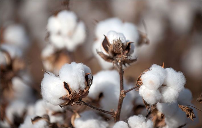 US cotton acreage to be up 6.2% in 2016