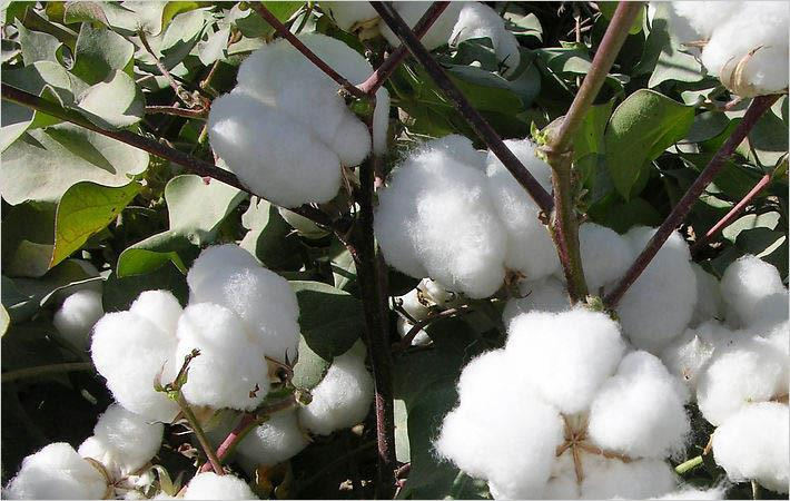 US cotton production projected to fall