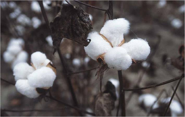 Cotton crop failure worries Pakistani govt