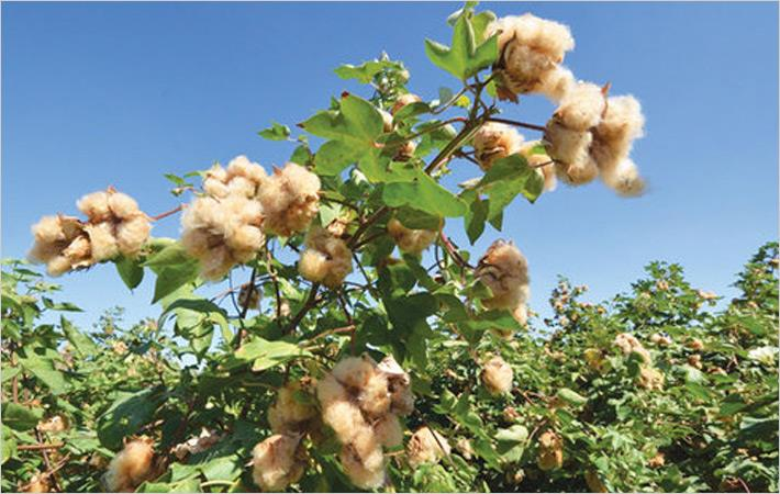Cotton prices up in Brazil in April 2016