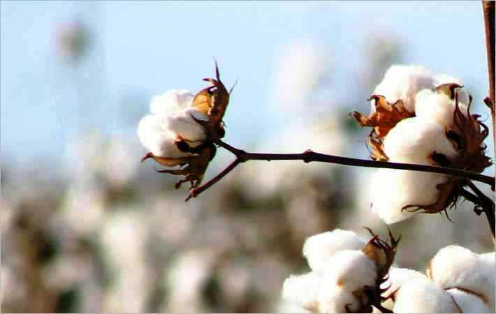 World cotton consumption dropped 3% in 2015-16: ICAC