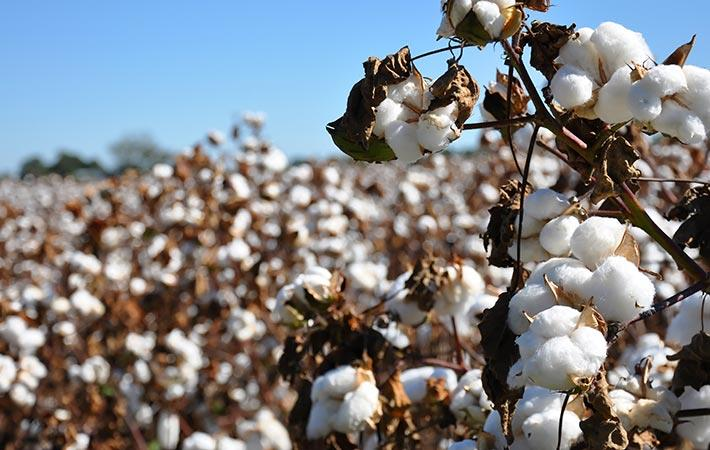 Brazilian cotton prices remain firm in June first week
