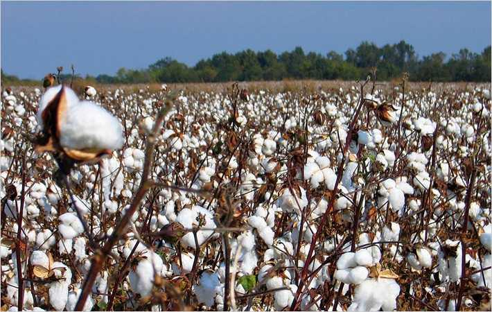 Row over APTMA's demand to ban cotton export to India