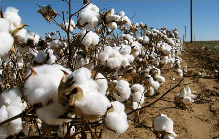 Cotton sowing begins in parts of India