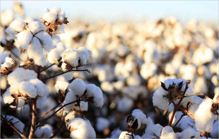 Declining cotton production worries Pakistan