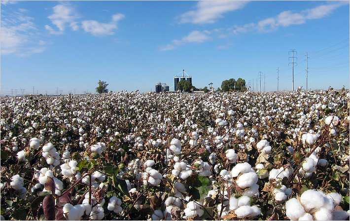 Area under cotton may drop by 35%