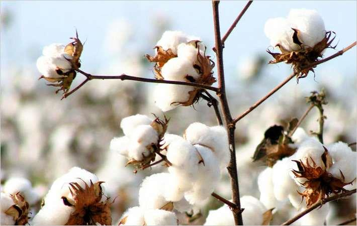 Cotton prices unlikely to fall in near future