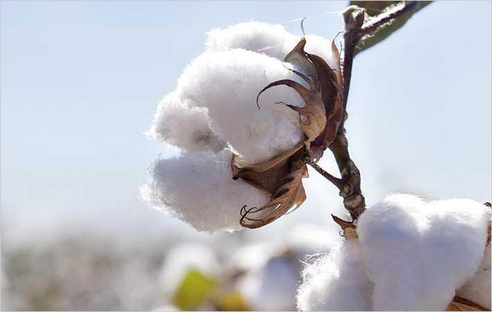 Cotton Inc Using Natural Dyes