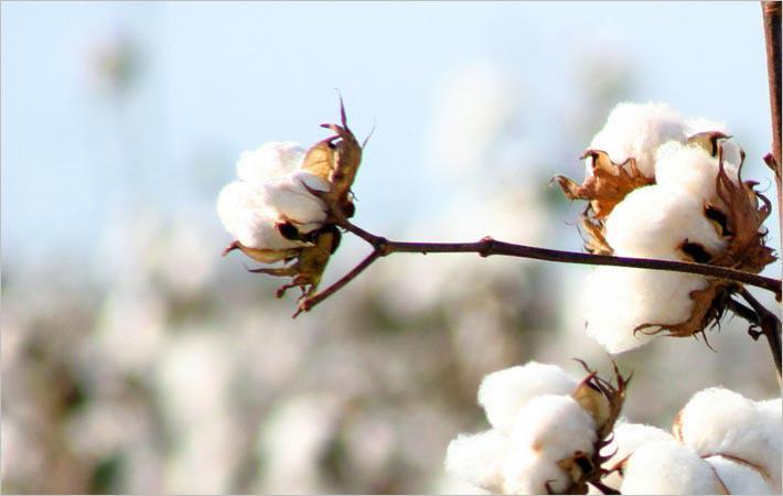 Brazilian cotton prices rise in late November
