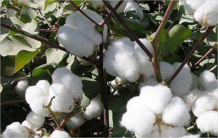 Indian currency crisis impacts global cotton market