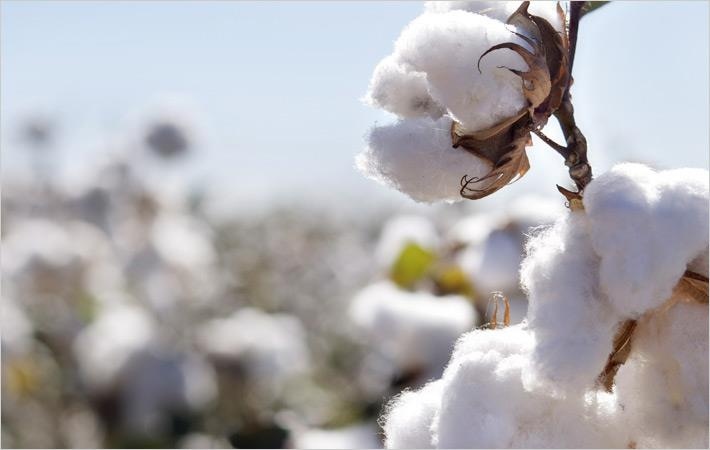 Cotton prices show mixed movement in Indian market