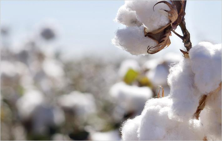 Bureau Veritas to verify Egyptian cotton