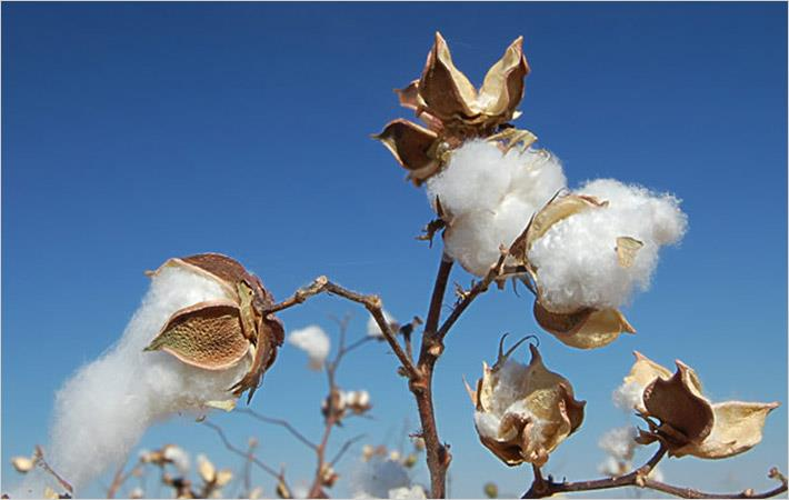 Zimbabwe cotton yield up 150% to 70,000 tonnes