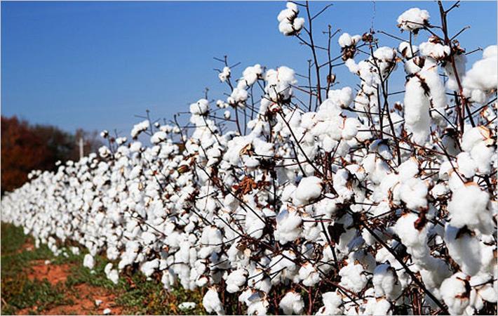 CAI estimates 2017-18 cotton crop at 375 lakh bales