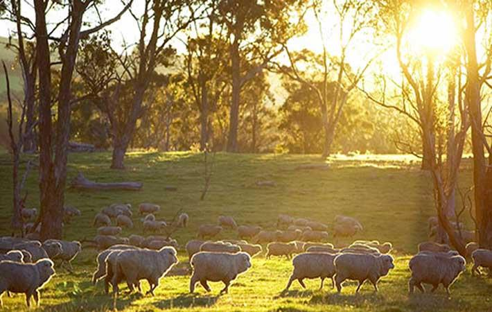 Courtesy: Australian Wool Innovation