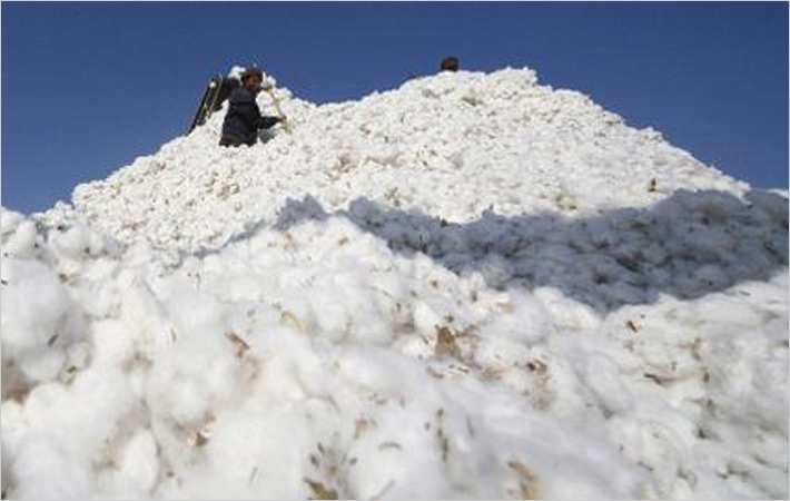 Maharashtra relief for cotton farmers hit by pink bollworm
