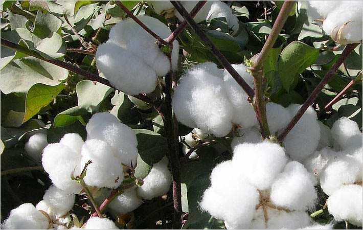 Cotton prices move up in Brazilian market last month