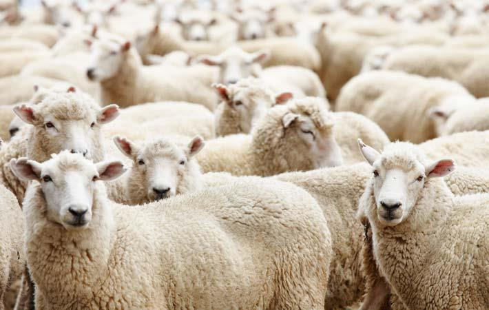Market downturn halts at Australian wool auctions