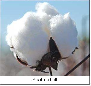 A cotton boll