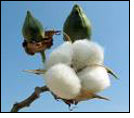 Trades in Kalyan cotton increase at commodities exchange