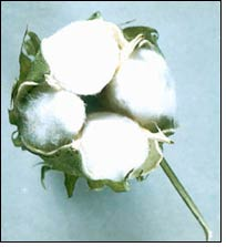 Weekly price review of Kalyan cotton