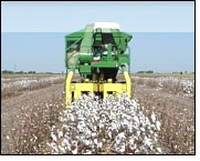 Cotton acreage to remain same as last year