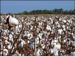 CLCV affects 15% cotton crop in Punjab