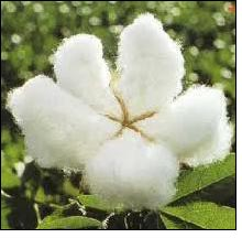 Cotton export to stand at 5.5 million bales